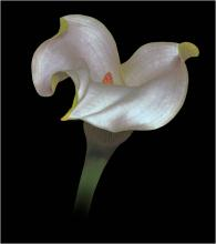 Calla Lily by Charles Hobley