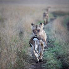 Lioness carrying Thompson Gazelle by John Gauvin