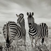 Two Zebras by Rosie Armes