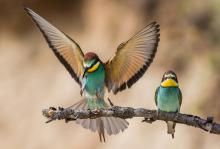 Mid Sussex: Bee-eater bringing in food for offspring by Viv Nicholas