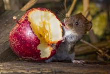 Wood Mouse by compost bin-Wendy Ball