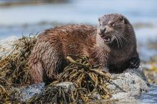 Michael Ball - Hebridean Otter