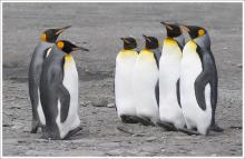 King Penguin Inspection by Ian MacWhirter