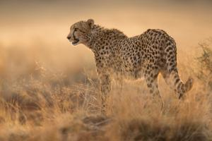 Cheetah in Evening Light by Phil Shaw FRPS